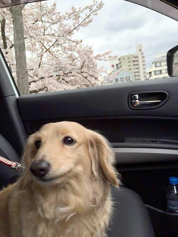 車の助手席の犬